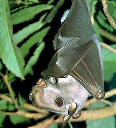 Hammer-headed bat | another mega bat, African cousin