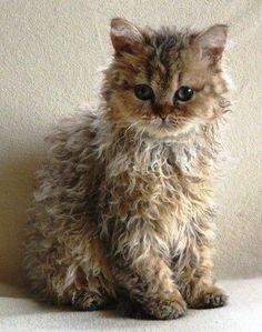 curly coat kitten...