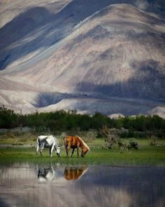 WEBSTA @ nomagme1 - Grazing at the top of the world, Ladakh.Photography by © (Josh N.).I took a Royal Enfield motorcycle from Leh to Nubra valley by myself this summer, a short but intense ride. #reflection #water #himalayas #ladak #mountains #grazing #horses #nubra #animals #travel #nature #travelphotography #instatrip #mytravelgram #nomagme