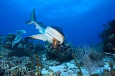 Photograph by Brian Skerry    A Caribbean reef shark samples a Pacific lionfish at Cordelia Banks in Honduras. A few spiny lionfish escaped from an aquarium 20 years ago, and today they're a plague, preying on the reef's fish population. Scientists are helping sharks acquire a taste for the invaders by feeding them speared lionfish.