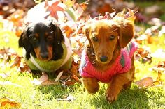 Six-month-old dachshund puppies Frank and Jet play in the winter leaves at Varsity Lakes, Gold Coast, Australia.  Photographer: Kit Wise