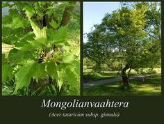 Mongolianvaahtera - puulajipuisto