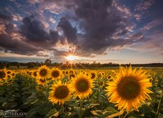 Things to do: sunflower field in the Champlain Valley near Ferrisburg, VT copywright Kurt Budliger