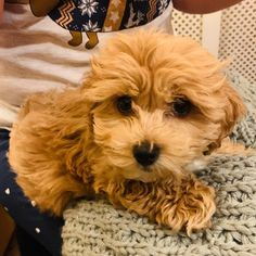 """Buddy on Instagram: """"Serving you fluffy Maltipoo cuteness one pic at a time!! 🐶❤️🐶 #maltipoo #puppy #maltipoopuppy #dogsofinstagram #puppies #puppiesofinstagram…"""" Maltipoo, One Pic, Puppies, Cute, Instagram, Puppys, Kawaii, Pup, Doggies"""