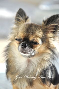 little long hair Chihuahua