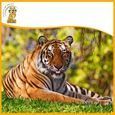 The roar of a Bengal tiger can carry for over at night. Bengal Tiger, Tigers, Animals, Night, Animais, Animales, Animaux, Animal, Dieren