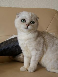 My favorite breed of cats! Little Kittens, Cats And Kittens, Kitty Cats, Crazy Cat Lady, Crazy Cats, Scottish Fold Kittens, American Shorthair Cat, Cattery, Tiger