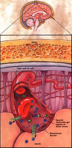 http://www.quantumleapwellness.com/images/blood-brain-barrier-picture.jpg