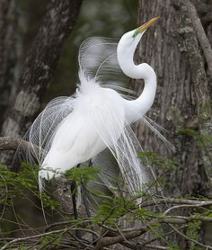 Funny Wildlife, Great Egret by amaw on Flickr. Lake Martin