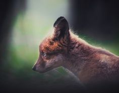Red Fox Cub by Mikko Malminen - National Geographic Your Shot