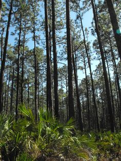 North Florida Flatwoods near Gainesville. Photo credit: Jo Anna Emanuel  www.GainesvilleFloridaHomes.com
