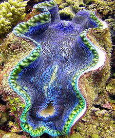 Giant purple clam we saw on the Great Barrier Reef in Queensland, Australia