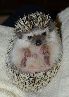 Baby hedge hog