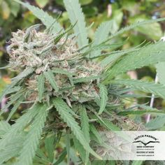 #semillas de #marihuana #Orange #Bud feminizadas de #DutchPassion