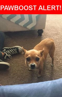 Is this your lost pet? Found in San Jose, CA 95129. Please spread the word so we can find the owner!  Caramel brown chihuahua  Near Saratoga Ave & Latimer Ave
