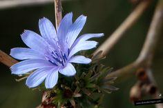 (Cichorium intybus). La escarola, achicoria común o radicheta es una flor azul con curiosos estambres.