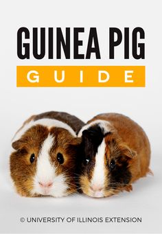 Guinea Pig Guide - great tips for new owners! But this website has lots of great information for other pets too: good resource to pin and keep for later reference.