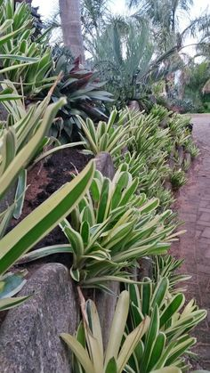 Bromeliads verigated