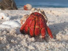 A hermit crab emerges from its shell - Hermit crab - Wikipedia, the free encyclopedia