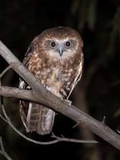 Boobook Owl (Ninox Boobook). Photo by Richard Jackson.
