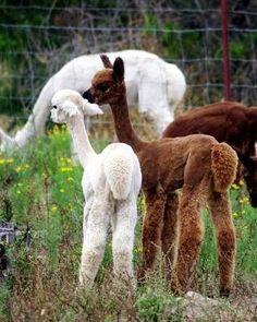 Alpaca babies with their cute little tails. Just sooo cute! Live Animals, Zoo Animals, Cute Baby Animals, Animals And Pets, Funny Animals, Animal Babies, Rainforest Animals, Alpacas, Alpaca Drawing