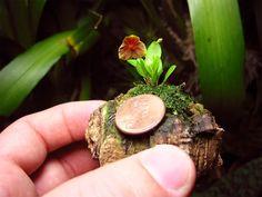 Orchid ~Lepanthes antilocapra - Google Search