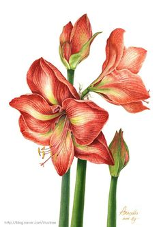 "Hanji on watercolor / /Amaryllis ""Apple Blossom "" Illuatration by EJ Watercolor Sketchbook, Watercolor Flowers, Watercolor Paintings, Plant Illustration, Botanical Illustration, Botanical Flowers, Botanical Prints, Gladiolus Flower, Colored Pencil Artwork"