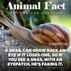 Did you know...A snail can grow back an eye if it loses one ...