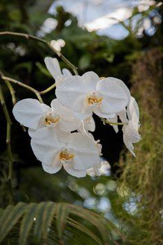 Orchid (Orchidaceae) in our Climatron! Missouri Botanical Garden, Botanical Gardens, Orchidaceae, Natural Wonders, Orchids, Bloom, Florals, Nature, Plants