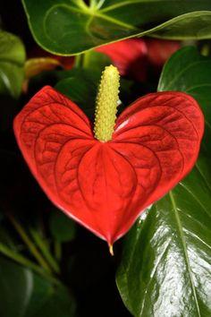 Red Anthurium - many colours are available .Sold  in most nurseries in Singapore