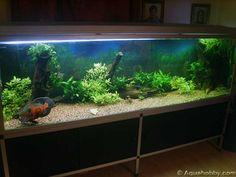 41 Best Oscar Images Fish Tanks Aquarium Fish Fish Aquariums