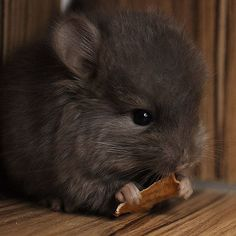 10 Adorable Baby Chinchillas That Will Melt Your Heart.