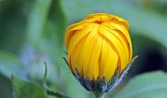 🌐 Yellow Flower Bud during Day Time - download photo at Avopix.com for free    🏁 https://avopix.com/photo/45452-yellow-flower-bud-during-day-time    #flower #yellow #ornamental #plant #orange #avopix #free #photos #public #domain