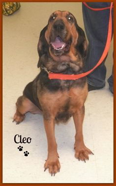 Cleo is an #adoptable Bloodhound at the Manistee County Humane Society / Homeward Bound Animal Shelter in #Manistee, #MICHIGAN