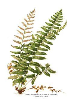 http://fine-art-prints-store.com/images/15605-xmas-shield-fern.jpg