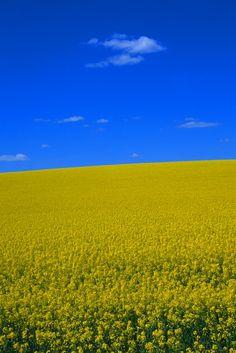 Rapsfeld To buy this picture please visit www.3aART.de Zum Erwerb dieses Bildes besuchen sie bitte unsere Hompage www.3aART.de