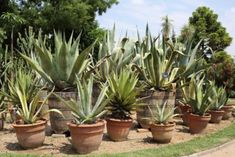 Potted Agave Care: Tips On Growing Agave Plants In PotsCan agave grow in pots? You bet! With so many varieties of agave available, container grown agave plants are an excellent choice for the gardener Succulents In Containers, Cacti And Succulents, Container Plants, Planting Succulents, Container Gardening, Planting Flowers, Succulent Planters, Succulent Arrangements, Container Flowers