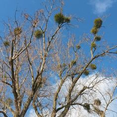 Mistletoe herbs - ideal for your heart and low cholesterol #heart #cholesterol #ziola #herbs #herbal #nature #przyroda #trees