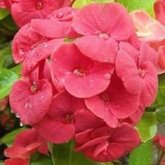 Your place to buy and sell all things handmade All Flowers, Colorful Flowers, Cactus, Garden Sprinklers, Euphorbia Milii, Big Plants, Mother Plant, Crown Of Thorns, Yellow Leaves