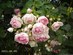 'Jasmina ' Rose Photo