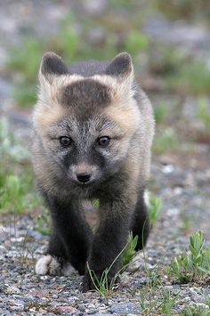 Curious red fox kit coming in for a look, Mt. Rainier NP, remember not to feed wild animals, as it changes their behavior and puts them at risk Animals And Pets, Baby Animals, Wild Animals, Beautiful Creatures, Animals Beautiful, Fox Kids, Wild Creatures, Woodland Creatures, Super Cute Animals