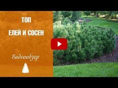 Ели и сосны 🌲 Топ самых лучших сортов ➡ Уход и выращивание - YouTube