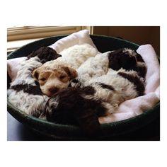 Blackberry Farm: Truffle Dog Puppies!