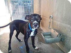 POOR LITTLE GIRL IS HIDDEN AWAY AT KILL SHELTER. NEEDS URGENT RESCUE.   MELODY  Breed: American Pit Bull Terrier/Pit Bull Terrier Mix Color: Unknown Age: Young Size: Med. 26-60 lbs (12-27 kg) Sex: Female ID#: 7549835-A1503174  Contact info Shelter: North Central Animal Care Center - Los Angeles Animal Services Phone: (888) 452-7381 ext.141 Address: 3201 Lacy Street Los Angeles, CA 90031