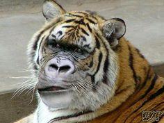 Gorilla  + Tiger= ?