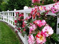 Striped roses with a white fence. Oh so gorgeous!