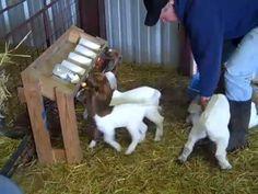 Bottle Feeding Group of young Boer goat kids Jack Mauldin Video
