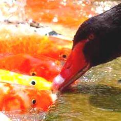 Black swan and gold fish