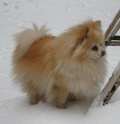 Pomeranian - Baxter's winter coat :)                                                                                                                                                                                 More