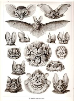 Chiroptera by Ernst Haeckel, 1904. Kunstformen der Natur (Artforms of nature) Plate 67